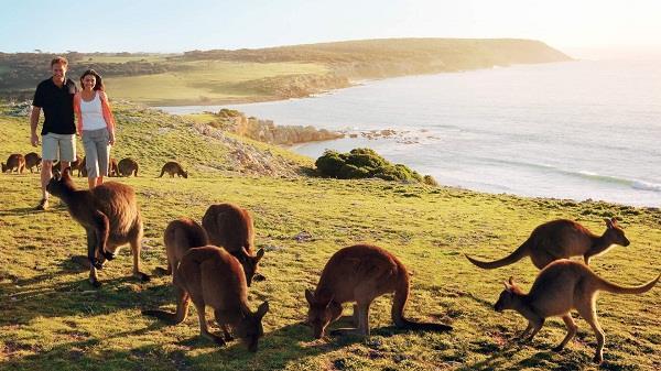 Đảo Kangaroo - điểm du lịch tuyệt vời của nước Úc