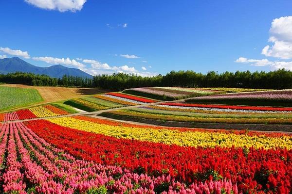 Rừng hoa làm say đắm lòng người ở Hokaido - Nhật Bản