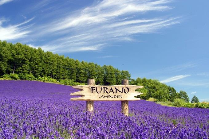 Khám phá vườn Oải Hương tím biếc ở Hokaido, Nhật Bản