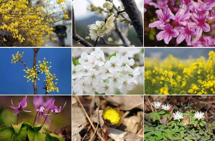 Những lễ hội hoa xuân ở Hàn Quốc