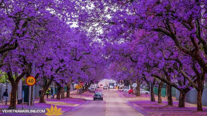 Lãng mạn màu hoa phượng tím khi đến Úc du lịch